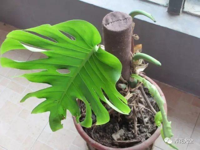 1、龟背竹叶子宽大,任由它自由生长,会长出很多徒长枝叶,交叠在一起,显得杂乱。因此要修剪徒长枝叶。