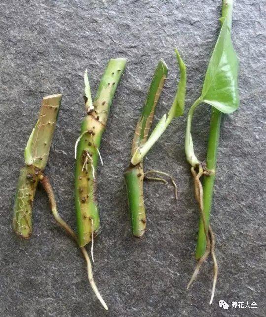2、选择与芽、气生根的侧枝应。