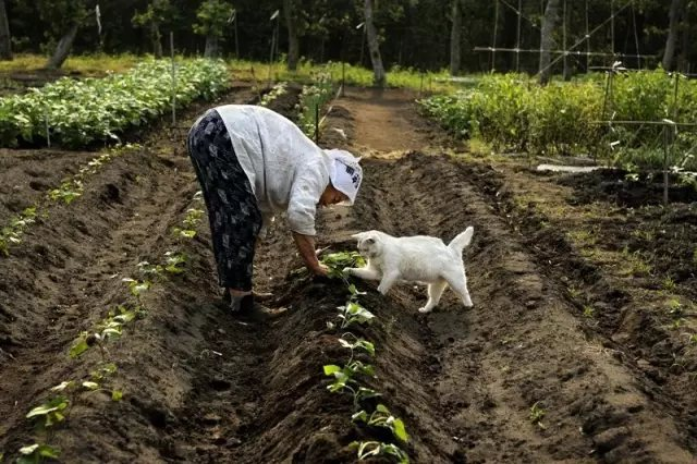 奶奶在田间种菜, 福丸伸出小爪子, 笨拙地想要搭把手。