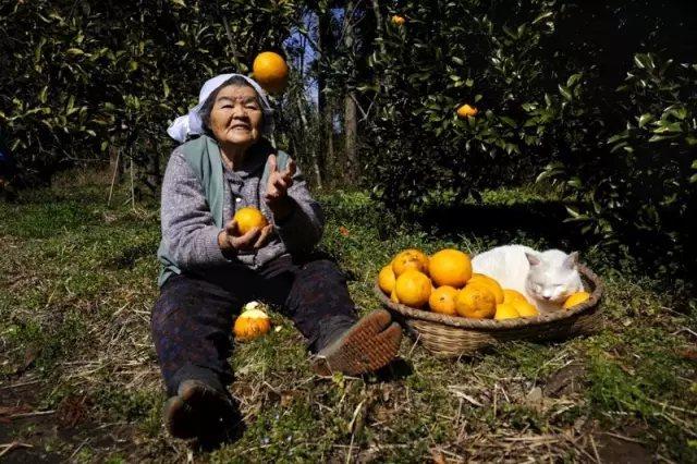 金秋时节, 果子压弯了树枝 趁着阳光暖和, 和奶奶一起去收橙子。