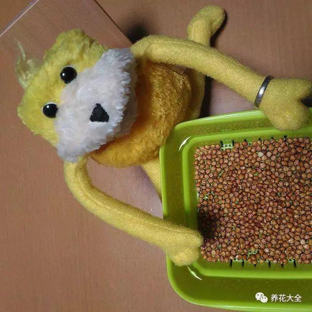 2、将挑选好的豆子放在温水中浸泡24个小时以上。在浸泡的时候,那些干瘪的豆子就会漂浮起来,正好可以直接挑出来丢掉了。
