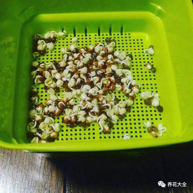 4、大概1周左右的时间,就能够看到黄豆、绿豆发芽了。