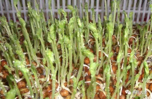 5、大概10天左右的时间,豌豆的芽苗就能长到8-10cm了。