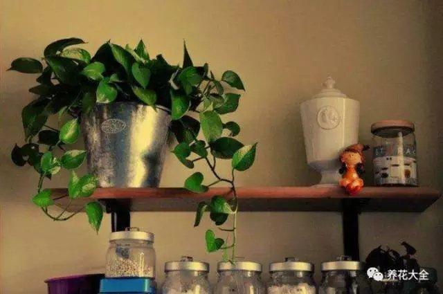 绿萝摆放在厨卫、楼道这些荫蔽的地方,可消除煞气,增加正能量,促进加人健康和谐。