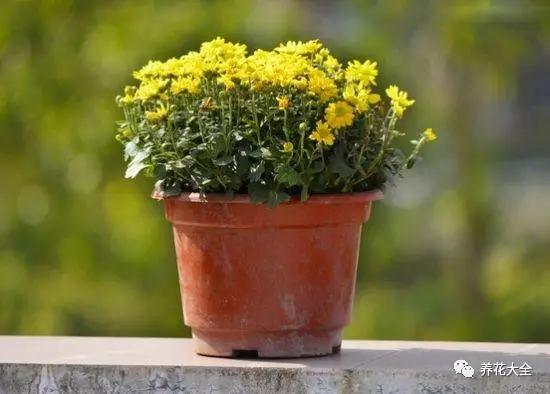 菊花适合放在阳台,或客厅中能接受阳光照耀的地方,可避免灾祸病痛,促使家人多福多寿,吉祥幸福。
