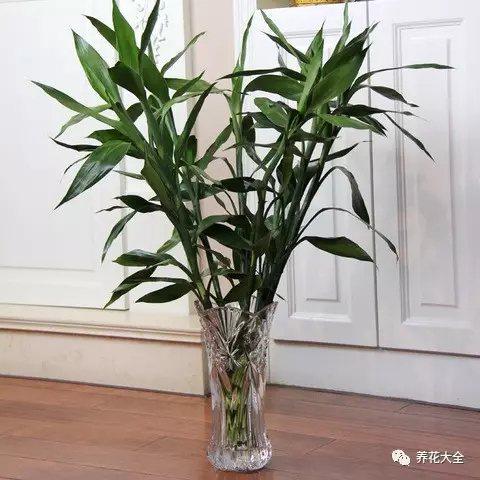 富贵竹水培