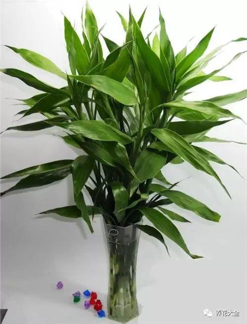 2、每次朝着水培瓶中加入5-7滴硫酸亚铁溶液,大概10-15天滴一次,很快就能发现富贵竹不黄叶了,而且根系越长越多!