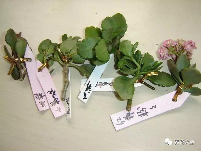 1、秋天修剪下来的长寿花枝条,可以进行短截,每个枝条上至少保留1对叶子,之后放在阴凉通风的地方晾干。