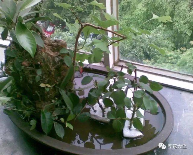 3、之后将月季枝条插在泡沫上,然后将泡沫放在水中,之后放在北阳台等阴凉通风的地方养护。