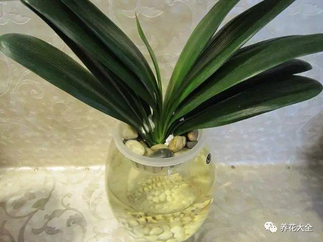 2、大概5-7天的时间,朝着君子兰水培瓶里加10-20滴维生素B12溶液,可以促进生根,让君子兰快速长出白花花的根系!