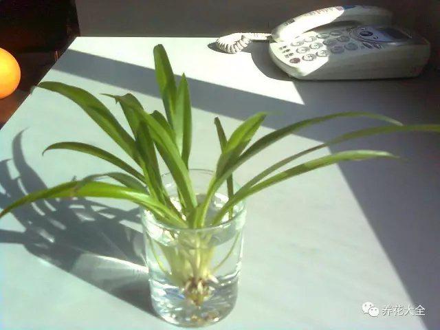 2、将剪下来的小吊兰放在水培瓶中,让吊兰的底部稍微沾点水,之后放在阴凉通风的地方即可。