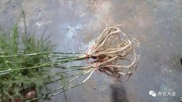 2、将修剪好的文竹根系,放在多菌灵溶液中浸泡20分钟左右,以进行杀菌消毒,避免水培的文竹烂根。