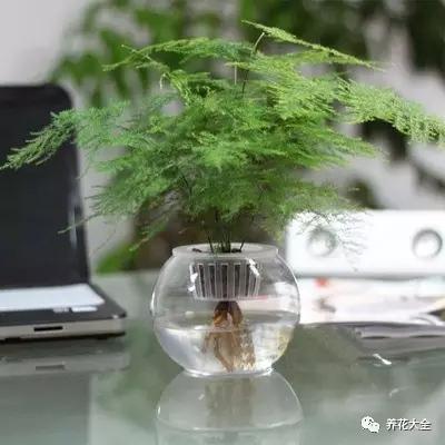 如果想要文竹的根系越来越多,可以朝着水培瓶里加点营养液。大概10天朝着水培瓶里滴10滴左右营养液,文竹吸收了充足的养分,长得越来越旺,根系也就越来越多了!