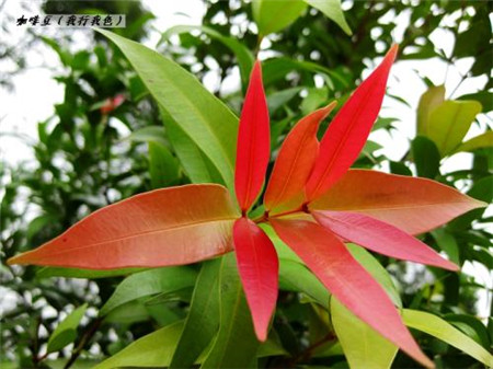 红鳞蒲桃树
