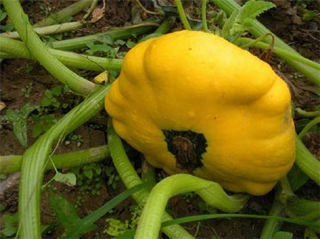 成熟的飞碟瓜