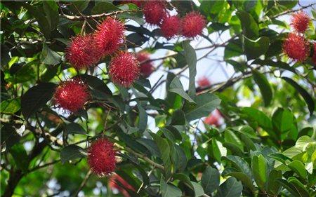 红毛丹果树