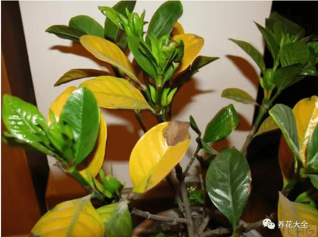 发黄的叶片