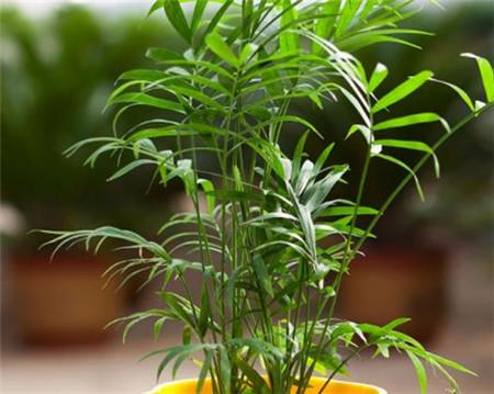 盆栽袖珍椰子