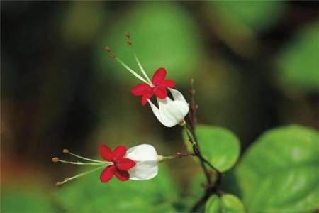 龙吐珠开花