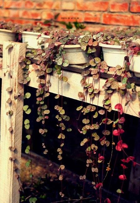 盆栽爱之蔓