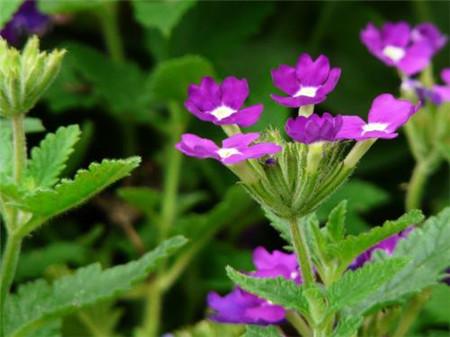 紫花美女樱