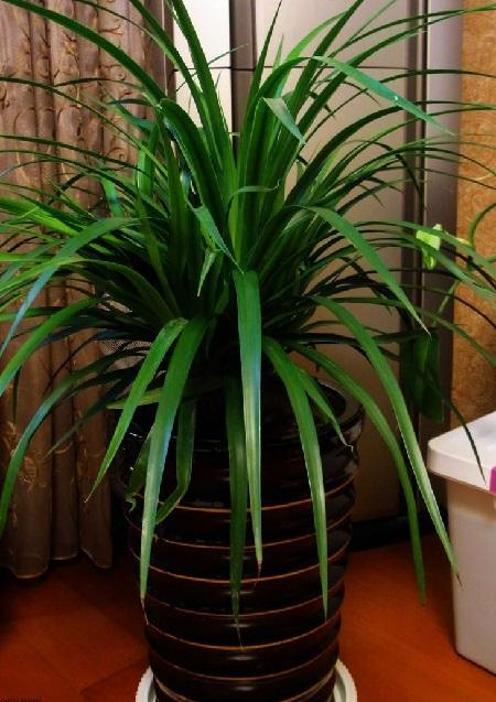 龙须兰盆栽