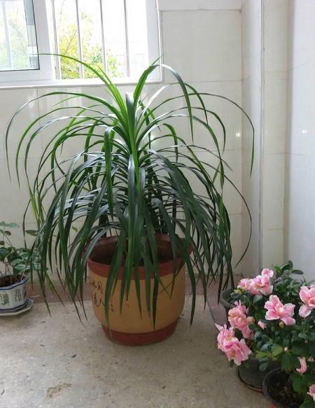 盆栽龙须兰