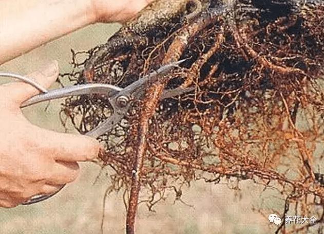 木栓化的根系也清除