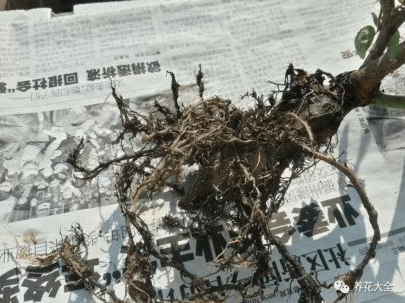 高锰酸钾浸泡根系