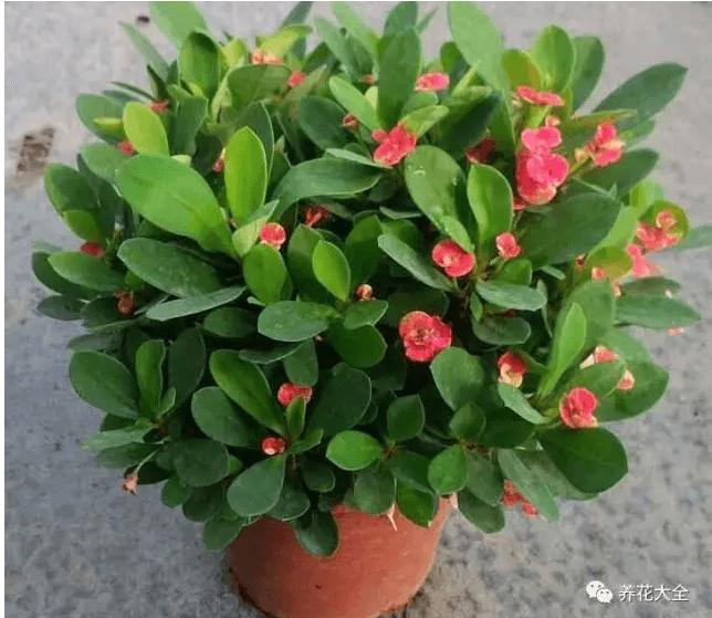 各种家养花的-滴水观音   如果滴水观音体内水分过多,会顺着叶尖流出来,如果不小