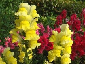 金鱼草花朵