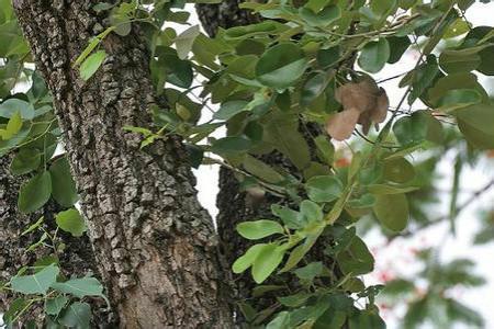 小叶紫檀树