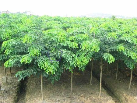 小叶紫檀植株