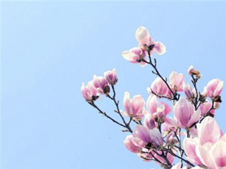 木兰的花朵