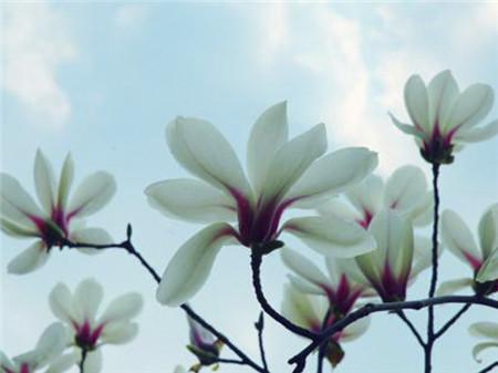 高洁的木兰花