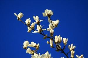白玉兰的花枝