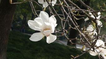白玉兰的花朵