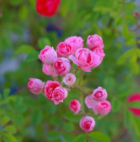 开放的蔷薇花