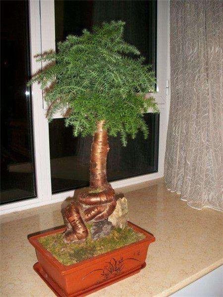 澳洲杉好看的盆栽