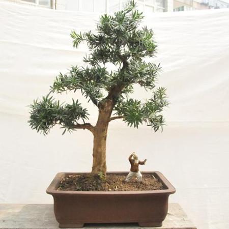 盆栽澳洲杉
