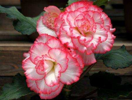 球根海棠的花朵