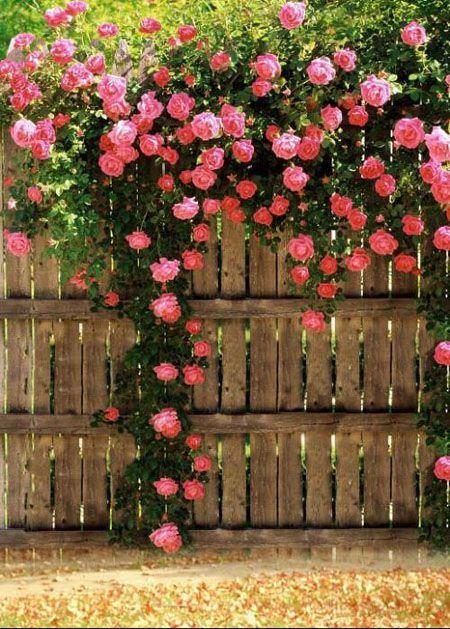 蔷薇花花墙