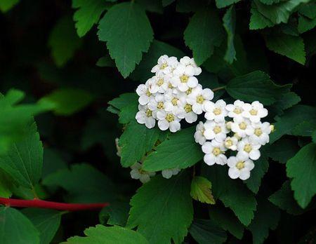 麻叶绣线菊的植株