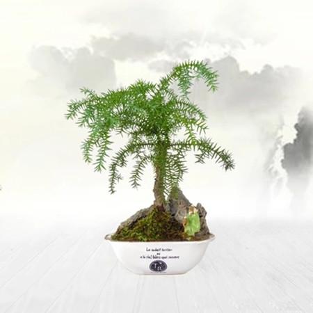 澳洲杉盆栽