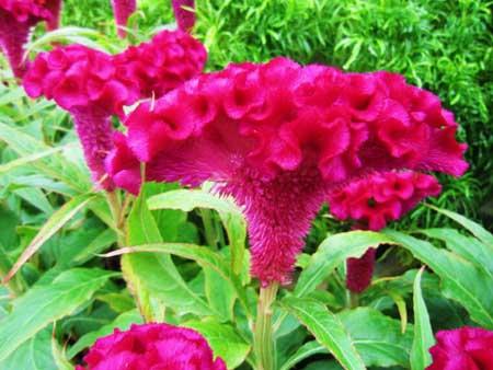 鸡冠花的花朵