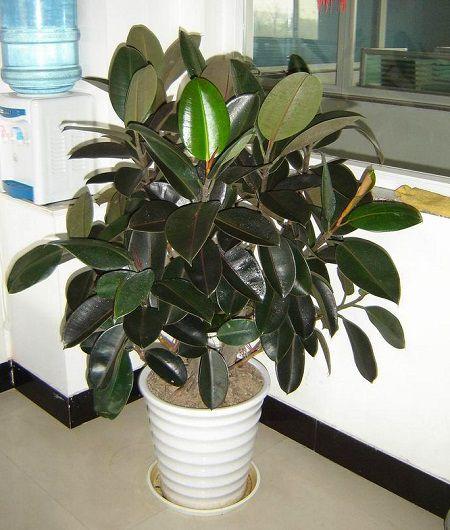 盆栽橡皮树