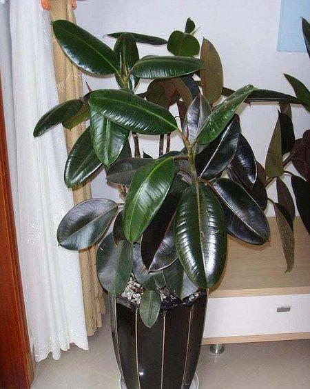 橡皮树盆栽