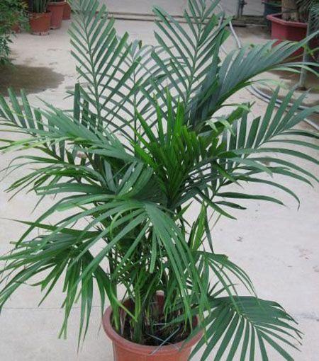 富贵椰子植株