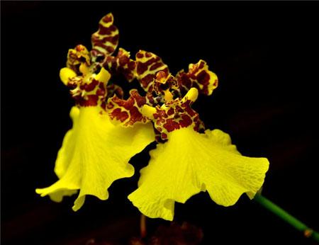 文心兰的花