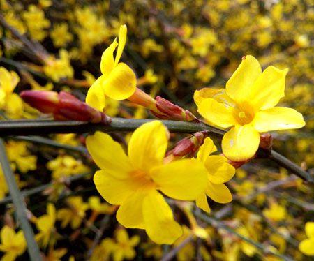 迎春花植株